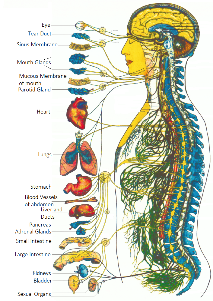 Body Stress Release BSR Organs and nerves